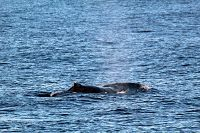 Humpback whale moving across the surface - thumbnail