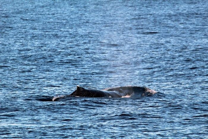Humpback whale moving across the surface - lightbox