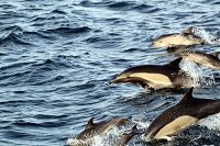 Common dolphins jumping - thumbnail