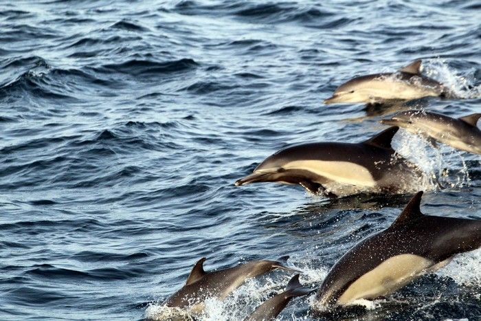 Common dolphins jumping - lightbox