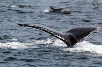 Humpback whale fluke and common dolphins - thumbnail