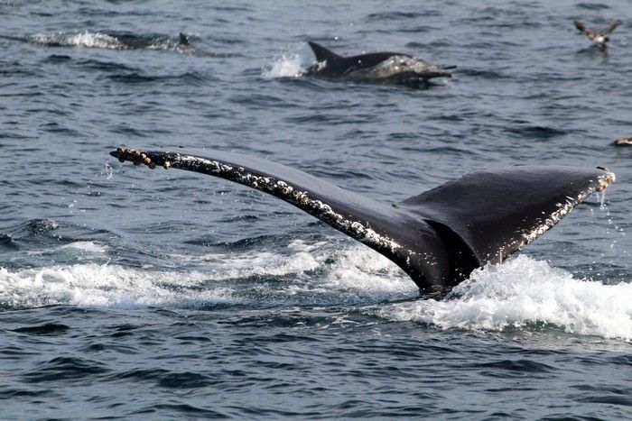 Humpback whale fluke and common dolphins - lightbox