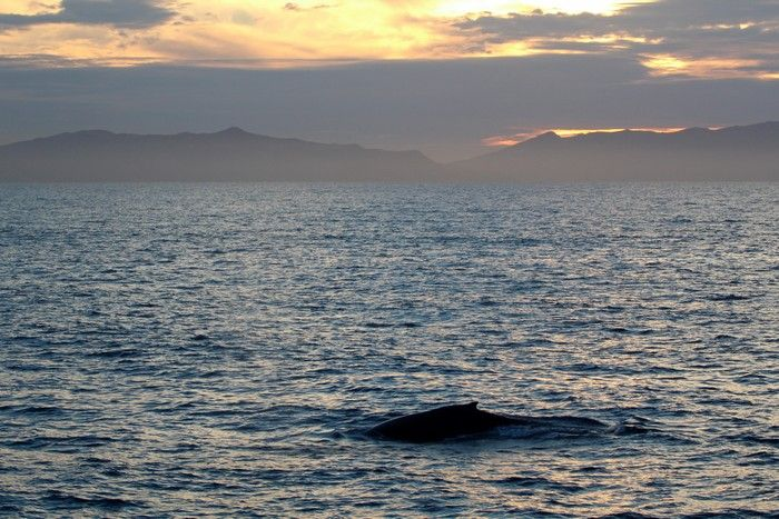 Humpback whale at sunset with Catalina in the background - lightbox