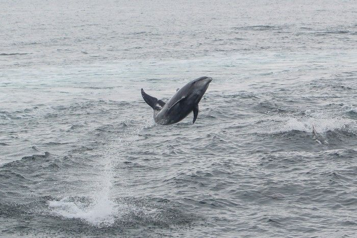 Bottlenose dolphin leaping in the air - lightbox
