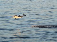 Common dolphin leaping through the air - thumbnail