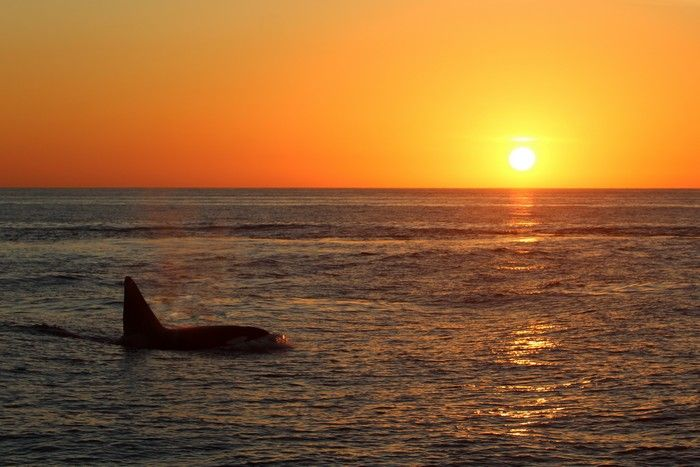 Fatfin the orca at sunset - lightbox