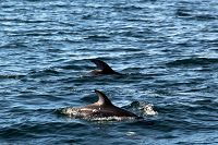 Pacific white-sided dolphins at the surface - thumbnail