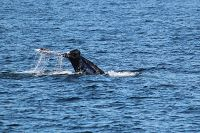 Gray whale fluke and tail stock in the air - thumbnail