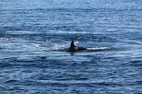 Orca at the surface - thumbnail