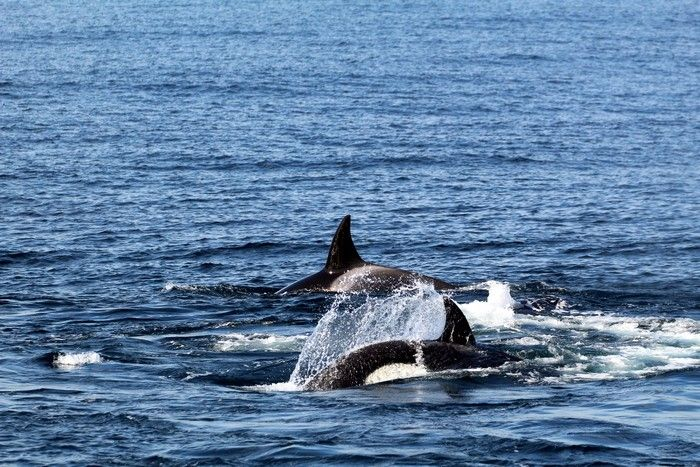 Orcas at the surface of the water - lightbox