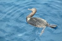 Double crested cormorant sitting on top of the water - thumbnail
