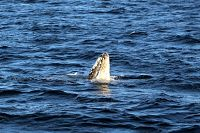 Gray whale spy hopping - thumbnail