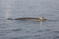 Fin whale at the surface - thumbnail