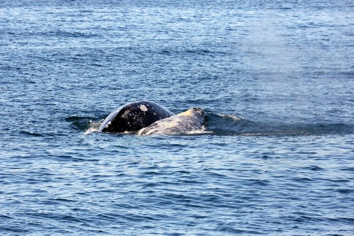 Gray whales displaying courting and potential mating behavior - lightbox