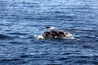 Gray whale fluke coming above the water - thumbnail