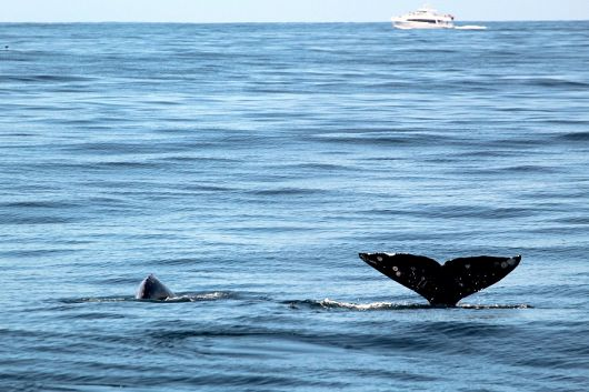 Two gray whales, one fluking high the air the other about to fluke - popup