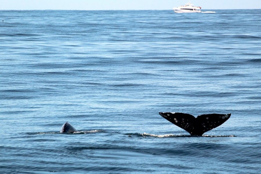 Two gray whales, one fluking high the air the other about to fluke - lightbox