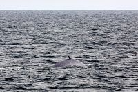 Blue whale right side dorsal at surface - thumbnail