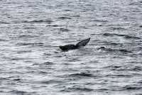 Gray whale fluke as the whale dives - thumbnail