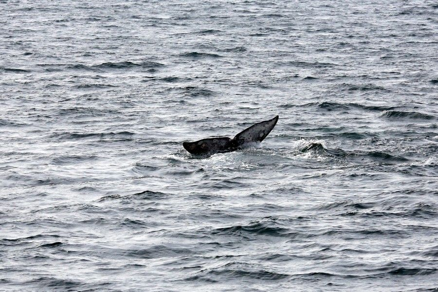 Gray whale fluke as the whale dives - lightbox
