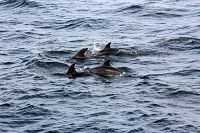Group of 4 bottlenose dolphins - thumbnail