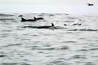 Common dolphins just above the surface - thumbnail