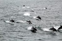 Large pod of common dolphins following the boat - thumbnail