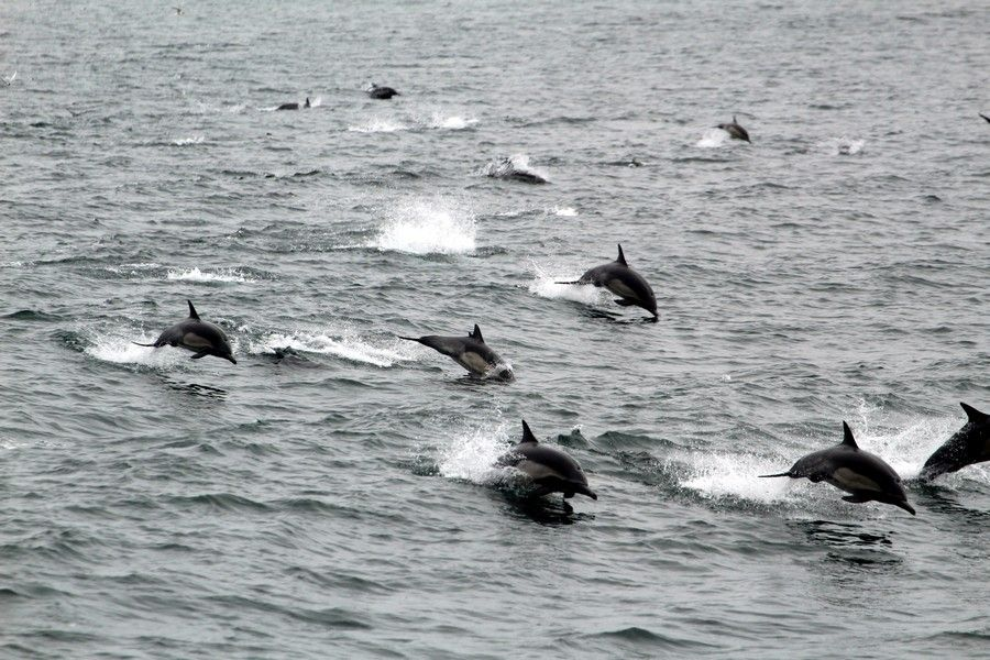 Large pod of common dolphins following the boat - lightbox