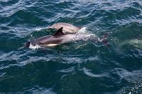 Common dolphin cow/calf pair viewed from above - thumbnail