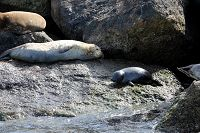Harbor seals and pup sitting on the break wall - thumbnail