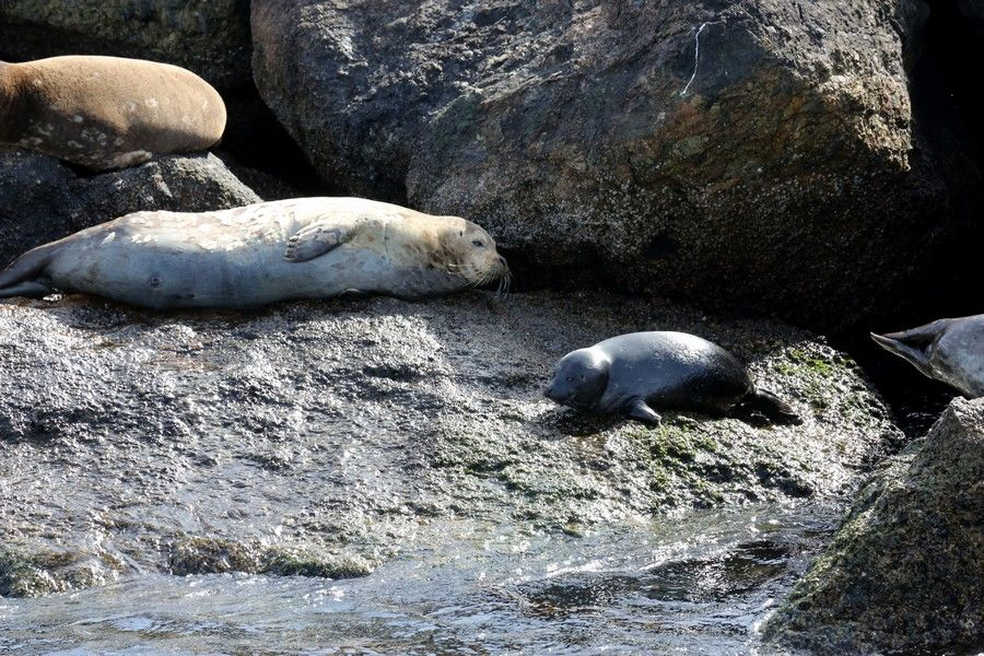 Harbor seals and pup sitting on the break wall - lightbox