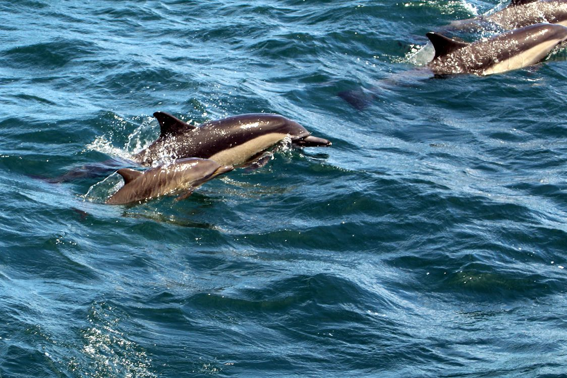 Common dolphin cow/calf pair - lightbox