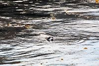 Harbor seal floating by the breakwall - thumbnail
