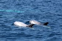 Risso's dolphins at the surface - thumbnail