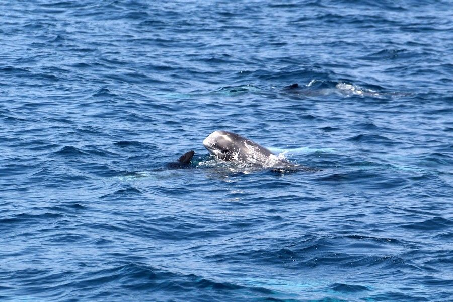 Risso's dolphin spyhopping - lightbox