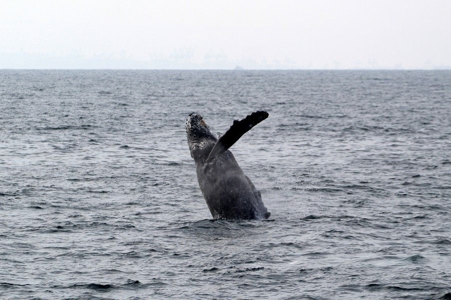 Breaching humpback whale - lightbox