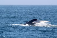 Blue whale fluke with water cascading off the back - thumbnail