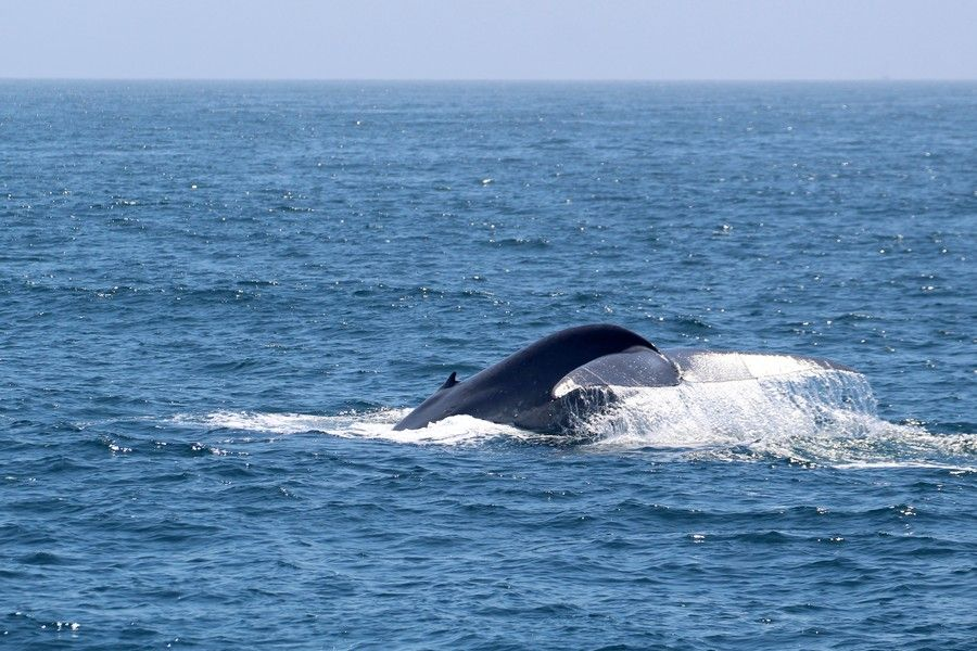 Blue whale fluke with water cascading off the back - lightbox