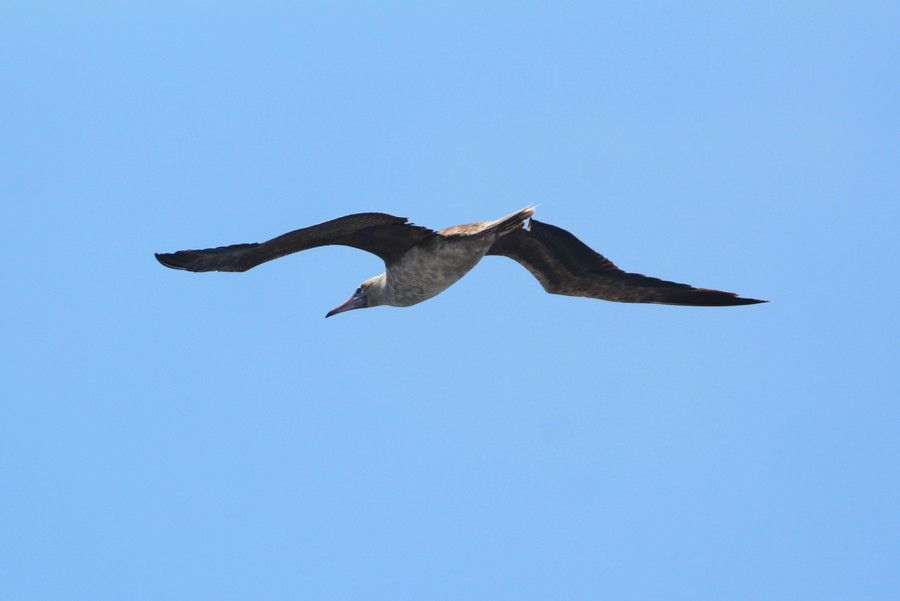 Juvenile brown booby bird in flight, very rare to see - lightbox