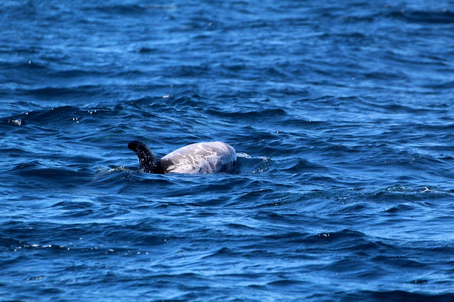 Risso's dolphin at the surface of the water - lightbox