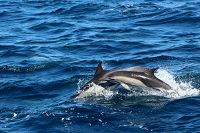 Common dolphins porpoising in the water - thumbnail