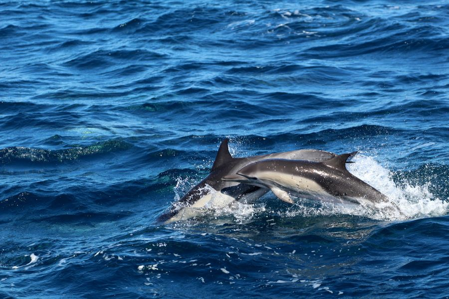 Common dolphins porpoising in the water - lightbox