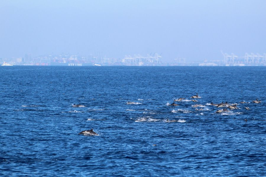 Large pod of common dolphins with the port in the background - lightbox