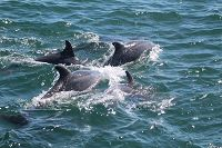 Bottlenose dolphins at the surface - thumbnail