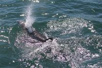 Bottlenose dolphin blowing at the surface - thumbnail