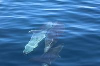 Bottlenose dolphins swimming below the surface - thumbnail
