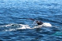 Humpback whale fluke with water cascading off the top - thumbnail