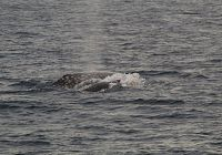 Gray Whales & Plenty of Dolphins