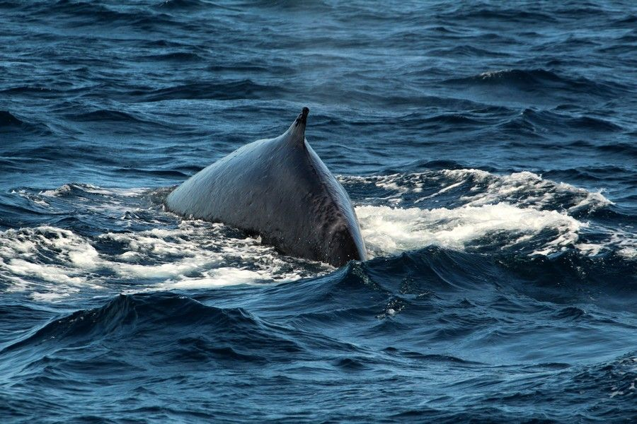 Fin whale with visible scarring behind its dorsal fin - lightbox