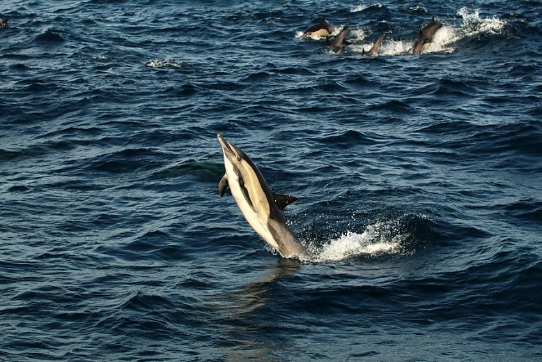 Common dolphin leaping through the air - slideshow